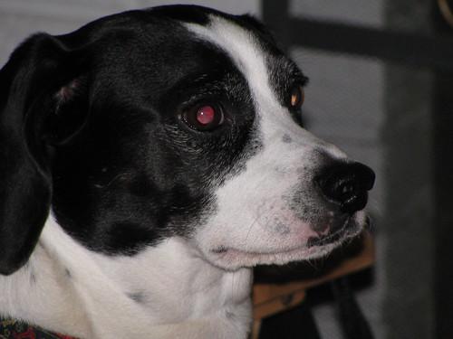 Sammy The Beagle