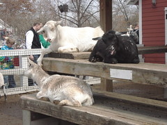 goats chillin' (Melonblossomlee) Tags: wood flowers trees red wild people plants white fish snow black flower chicken ice water glass beautiful leaves minnesota birds animals kids walking fun outside zoo cow kid spring bush pretty child tank sheep orchids snake farm live flamingo tortoise ducks goat indoor adventure boa trail exotic camel turtles lemur pigs tropical april python gecko prairiedog petting racoon twigs otters touring tapir exciting endangeredspecies warthogs applevalley gibbons minnesotazoo monotrain tropicstrail