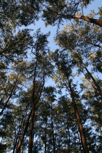 anawangin pine trees