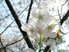 bright white blossoms