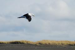 Gliding (ILLORG) Tags: argentina tierradelfuego playa ave gaviota volar cabodomingo