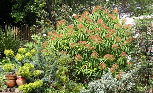 Euphorbia mellifera (Honey Spurge) - photo courtesy Flickr user pomphorhynchus
