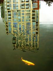Arpeggi (Bhlubarber) Tags: city urban orange fish tower glass vancouver garden ripple chinese f10 reflect condo classical carp refletion davidniddrie lptowers