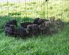 17 Mastweiler Puppies (muslovedogs) Tags: dogs puppy mastweiler