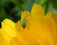 bug on marigold up close and scary (*LINNY *) Tags: flores flower macro green yellow closeup bug insect flora small bishos