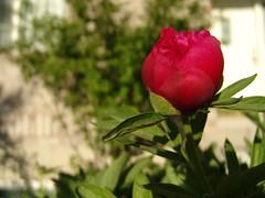 blooming-peony