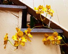 Cyrtochilum macranthum 2-1 species orchid (nolehace) Tags: winter nolehace fz1000 217 flower plant bloom species orchid cyrtochilum macranthum sanfrancisco