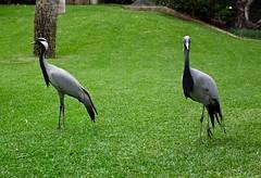 Demoiselle Crane's (Bogger3.) Tags: cranes demoiselle coth supershot avianexcellence rubyphotographer dragondaggerphoto