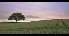 Lonely Tree (thelucidicone) Tags: sky jason tree green clouds landscape nikon flickr wheat young lonely nikkor d90 thelucidicone