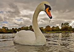 Swan with attitude (graspnext) Tags: park london big swan hyde mute momma bigmomma superhearts photofaceoffwinner pfogold