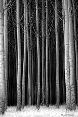 Poplars in a different light (walla2chick) Tags: trees bw usa poplar or umatilla 123bw monochromia impressedbeauty