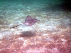 PICT0095 (JoseQ) Tags: coral mar belize caribe submarinismo