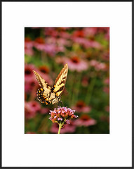 Wings I  (avirus) Tags: flower color nature butterfly bug insect wing frame 70200lis abigfave brooksidegardenwheatonmd
