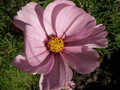 The bee flew away (Mandy Verburg) Tags: pink flower macro bug insect flickr utrecht meeting bee bij roze bloem thebiggestgroup abigfave mandyarjan vrouwenmeetup07