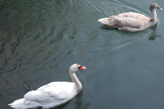 Gowanus Swans