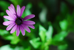 violet flower (A. Saleh) Tags: lebanon nikon wide violet d200 nikon50mmf18 nikond200 asaad asaadsaleh abigfave superbmasterpiece diamondclassphotographer wwwasaadsalehcom