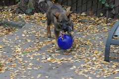 Comin Atcha! (cwgoodroe) Tags: dog color cute fall face tongue closeup ball puppy fur toy spring furry play fuzzy shepherd watching guard ears canine running run german cuddle stick chew gnaw attention playful ran trot shephard guarding k9 germanshephard observant gsd cutepuppy alet sephard germanshepherdeyes