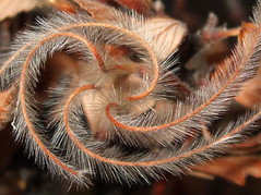 feathery swirl (speech path girl) Tags: macro nature seeds worldsbest cubism naturalgeometry passionphotography mountainmahogany mywinners platinumphoto aplusphoto infinestyle flickrslegend clevercreativecaptures