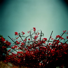 bring me flowers any day (microabi) Tags: pink flowers usa la holga artgallery blossom bluesky lookup getty 333