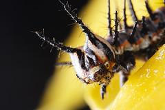 gulf fritillary caterpillar (Mundo Poco) Tags: macro canon insect caterpillar rebelxt eos350d gulffritillary mpe65mm mywinners theexhibit specinsect magicofaworldinmacro macrofoted