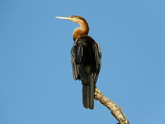 Darter (Anhinga melanogaster) on Safari in The Gambia