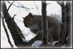 take one step closer lady (suesue2) Tags: squirrel michigan fluffy inatree inmybackyard plump chunky suesue2 amazingmich orgettingreadytopounceonmyhead gettingreadyforthesnowstorm