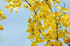 Golden shower Tree. (challiyan) Tags: india flower amazing superb awesome kerala newyear yellowflower awsome mice stunning cochin kochi cultural vishu brilliance pongal talented thrissur trichur keralam goldenshower chalakudy mostfaved cassiafistula vipin awesom  bestphotos graet greatshots greatpictures picturesforsale topphotos explored stuning awesomepics konna goldenshowertree chally awespme specialphotos siperb challiyan chalksy  vipincp ponkal challsky   camerockscom camerocks brilliantshots