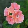 geranium (Leo Reynolds) Tags: leol30random flower flora geranium canon eos 30d 001sec f56 iso400 47mm 0ev grouputata xleol30x hpexif xratio1x1x xsquarex xx2008xx