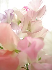 see-through (mamako7070) Tags: pink flowers plants flower sweetpea gettyimages whiteground sweetpeas lifeasiseeit supershot golddragon abigfave platinumphoto anawesomeshot colorphotoaward overtheexcellence llovemypic