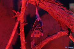 Morceguinho - Little bat (rbpdesigner) Tags: morcego bat morceguinho natureza noturna night vermelho red animal canon 20d slr dslr naturewatcher nature argentina buenosaires zoo zoologico 1on1objectsphotooftheweek 1on1objectsphotooftheweekjanuary2008 superbmasterpiece murcilago luzes lights luces luz light luce luci lumire lumires nachtaufnahme nocturna nocturne nightshot noite argentine argentinien   bue ar southamerica amricadosul amrica america nuit troglophiles trogloxenes canoneos20d amriquedusud sdamerika amricadelsur gneyamerika americameridionale