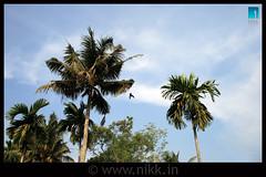 Air Show in Cochin (:: niKk clicKs ::) Tags: blue trees sky india green home fun backyard kerala airshow crow cochin kochi ernakulam coconuttrees republicday nikk kissdigitalx canoneoskissdigitalx arecanuttrees picnikk airshowincochin