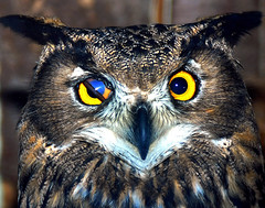 Eagle owl (floridapfe) Tags: bird eye nature animal zoo looking korea owl southkorea everland  abigfave impressedbeauty aplusphoto platinumheartaward theperfectphotographer