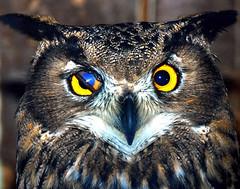 Eagle owl (floridapfe) Tags: bird eye nature animal zoo looking korea owl southkorea everland  abigfave impressedbeauty aplusphoto platinumheartaward theperfectphotographer