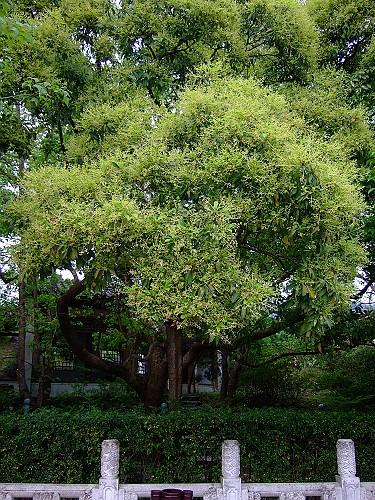 20080405T1樟樹