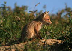 A Fox Kit (rivadock4) Tags: morning wild farm den maryland fox kit grayfox redfox 400mm specanimal urocyoncinereoargenteus canonxti impressedbeauty