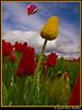 Tulip Racing (Chris Mullins) Tags: droplets nikon photographer tulip excellent skagit awards waterdrops skagitvalley tulipfestival redtulips yellowtulips d40 chrismullins d40x excellentphotographerawards thegoldenmermaid multimegashot skagiccounty waterontulips