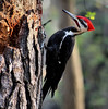 Pileated Woodpecker by jameslj