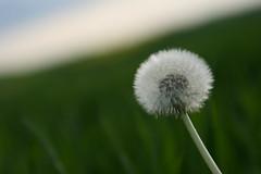 dandelion (marcwiegelmann) Tags: flower wiese dandelion gras blume raps canola lwenzahn taraxacumofficinale rapsfelder wwwmwfotografiede