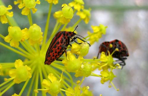 Red bug on flower Spain