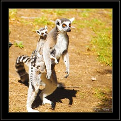 Looking for Babysitter!!! (MissSmile) Tags: nature animals kids zoo israel mother lemur babysitter madagascar safary platinumphoto anawesomeshot diamondclassphotographer theunforgettablepictures goldstaraward