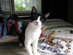 Idaho (rootcrop54) Tags: cat tuxedo blackandwhite oddeyes oddeyed cc100 neko nekochan chan friendsofzeusphoebe kedi chat 猫 kočka kissa chatte γάτα macska köttur kucing gatto 고양이 kaķis katė katt kot gato pi-sică кошка mačka maček gorbe idaho
