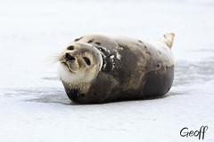 Harp Seal (gwhiteway) Tags: animal eyes fur harp seal mammal marine nature wildlife hunt save kill hunting soft whiskers pup cute endangered snow ice conservation coat white cub ocean atlantic canada arctic icefloe icefield lovable protection cold maritime flipper black ecotourism environment help vulnerable pagophilus groenlandicus saddleback newfoundland