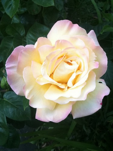 peace rose, in our front garden by sashinka-uk