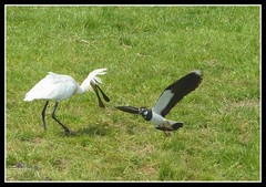 Spoonbill and lapwing battle (Mirthe Duindam) Tags: battle lapwing spoonbill kieviet lepelaar mirthe verdediging strijd duindam territorium
