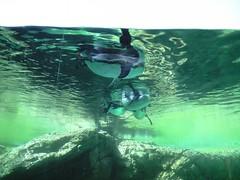 ペンギンを水中から