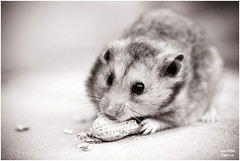 Hamster with new lens (petecarr) Tags: test hamster 70200