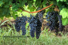 Grapes on the Vine 1