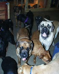 The Crew (muslovedogs) Tags: treats mastiff rottweiler coco playtime rex excalibur canecorso mylady mastweiler