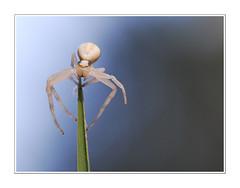 araignée 071014 (laulau280267) Tags: macro spider nikon d200 blanche araignée graphique