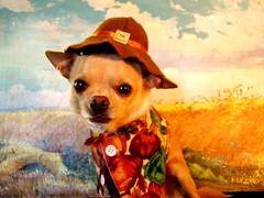 pilgrim (EllenJo) Tags: thanksgiving november pets chihuahua dogs costume harvest disguise floyd pilgrim 2007 thriftstoreart dogcostume dogsincostume boaa thriftstorescores november2007 ellenjoroberts ellenjdroberts dogsindisguise dleskovsky1958 dleskovsky ellenjocom